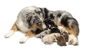 Züchterbetreuung - Präzise Bestimmung von Deckzeit und Geburtstermin